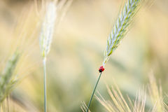 Ladybird on cereal Stock Photo