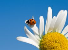 Ladybird on chamomile petal Royalty Free Stock Images