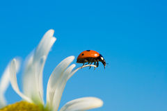 Ladybird on chamomile petal. Selective focus stock photography