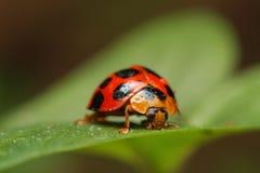 Ladybird ściga Obrazy Royalty Free
