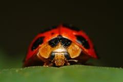 Ladybird ściga Zdjęcie Stock