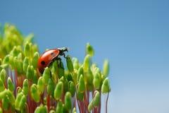 Ladybird climbed on Pohlia moss top Stock Photos