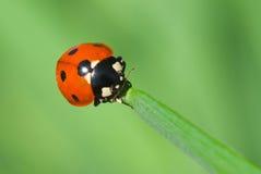 Ladybird climbing along blade of grass Royalty Free Stock Photography