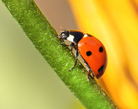 Ladybird climbing flower stem Stock Photo