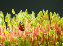 Ladybird climbing on moss stalks Royalty Free Stock Images