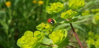 Ladybird clinging to some flowers. A Ladybug / Ladybird clinging to some grass Royalty Free Stock Photo