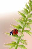 Ladybird close-up stock photography