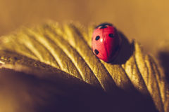 Ladybird. Close up of ladybird on green leaves royalty free stock photo
