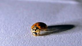 Ladybird close-up. ladybug on the white background stock video footage