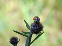 Ladybird. Close up of a ladybird sitting on a plant Royalty Free Stock Photography