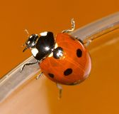 Ladybird closeup. Orange background Stock Photos