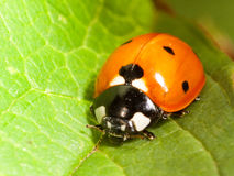 Ladybird closeup on leaf Stock Images