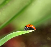 Ladybird closeup on a leaf Royalty Free Stock Photography