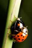 Ladybird or Coccinella Royalty Free Stock Photo