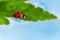 Ladybird/coccinella Fotografie Stock