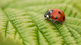 Ladybird/coccinella Immagine Stock