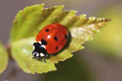 Ladybird (Coccinella septempunctata) Royalty Free Stock Photos