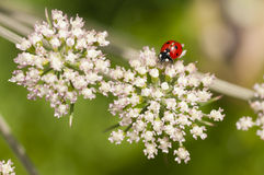 Ladybird, Coccinella septempunctata on white flowers Stock Photo