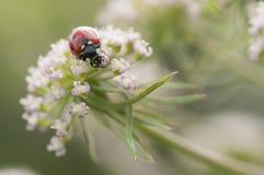Ladybird, Coccinella septempunctata on white flowers Stock Image