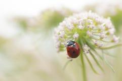 Ladybird, Coccinella septempunctata on white flowers Royalty Free Stock Photo