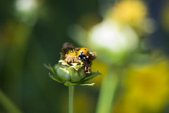 Ladybird, coccinelle images stock