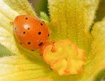 Ladybird (Coccinellidae) Стоковые Изображения