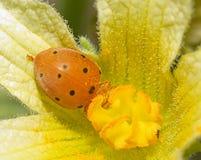 Ladybird (Coccinellidae) Стоковое Изображение