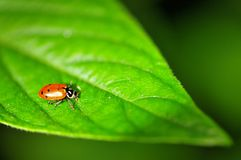 Ladybird (Coccinellidae) Stock Images