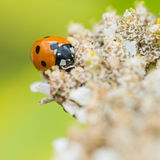 Ladybird Collector Royalty Free Stock Image