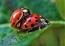 Ladybird coupling in June, 2019. Taken to capture an intimate, if microscopic scene hidden from view, in the summer of 2019 royalty free stock photo