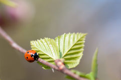Ladybird crawling on a branch with Stock Photography