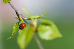 Ladybird crawling on a branch with Royalty Free Stock Photos