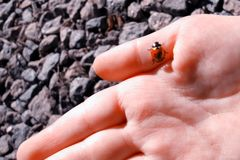 Ladybird crawling on a child`s hand. stock photo