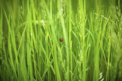 Ladybird . Royalty Free Stock Image