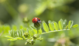 Ladybird on the green plant Royalty Free Stock Photography