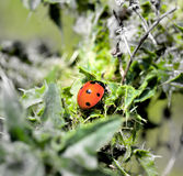 Ladybird. Creeping up on prickle Royalty Free Stock Images