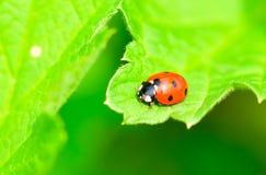 ladybird czarny czerwień Fotografia Royalty Free
