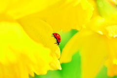 Ladybird daffodil Royalty Free Stock Images
