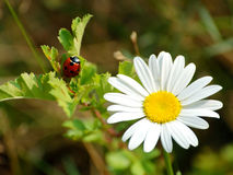 Ladybird and daisy Royalty Free Stock Photo