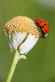 Ladybird on a daisy Royalty Free Stock Photo