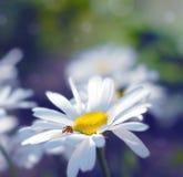 Ladybird on a daisy stock photography