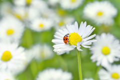 Ladybird on daisy flower Royalty Free Stock Images