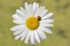 Ladybird on a daisy. A ladybird on an large daisy Royalty Free Stock Photos