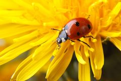 Ladybird on dandelion flower macro Stock Images