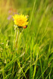Ladybird on a dandelion in the flowering period Royalty Free Stock Images