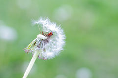 Ladybird on the dandelion fluff Stock Photography