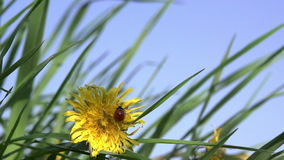 Ladybird and Dandelion. Ladybug crawling on a yellow dandelion. Slow Motion at a rate of 240 fps stock video footage