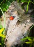 Ladybird dans l'herbe Image libre de droits