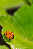 Ladybird. With dew-drop in the spring Stock Images