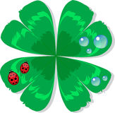Ladybird in dew on a leaf clover. Little red ladybird  on a leaf of green clover in the dew Royalty Free Stock Photos
